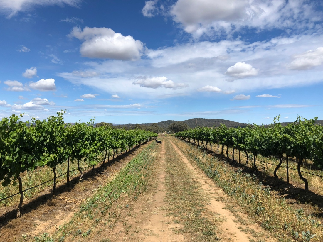 Robert Stein Vineyard, Mudgee